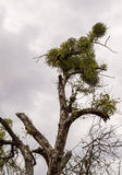 Detail of Mistletoe Infested Tree Royalty Free Stock Photos