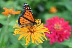 Detail of Monarch butterfly on zinnia bloom. This Monarch butterfly, with its stainedglass markings, feeds among large zinnia flowers in hot summer colors. These royalty free stock image