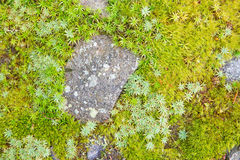 Detail of moos and lichen Royalty Free Stock Photography