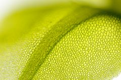 Detail of moss leaf (Plagiomnium affine) Royalty Free Stock Photo