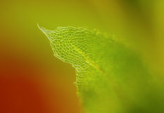 Detail of moss leaf Royalty Free Stock Images