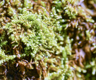 Detail of a moss Royalty Free Stock Photo