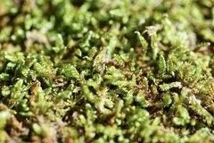 Detail of a moss Stock Photos