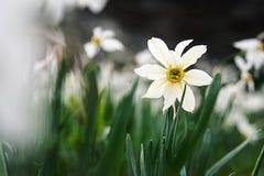 Mountain daffodil macro Stock Image