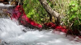 Detail of mountain river with red plants and moving water. 01. Detail of mountain river with red plants (Eleocharis sp Red) and strong current of water,conveying stock video footage