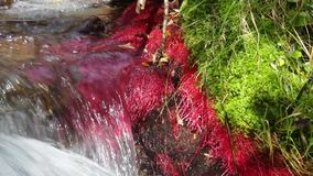 Detail of mountain river with red plants and moving water. Detail of mountain river with red plants (Eleocharis sp Red) and strong current of water, conveying stock video