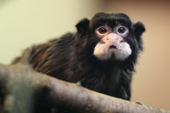 Moustached tamarin Stock Photo