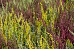 Blooming heather plants in autumn Royalty Free Stock Images