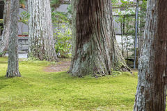 Detail of multiple large tree trunks of pine trees covered in mo royalty free stock photo