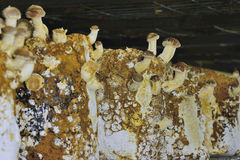 Detail of the mushroom farm Royalty Free Stock Photo