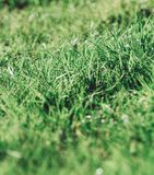 Detail of a natural green grass royalty free stock photo