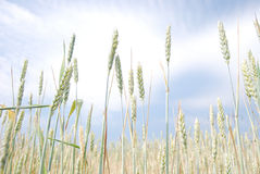 The detail of the nature. Of the branches and leaves of cereal with clouds Royalty Free Stock Photography