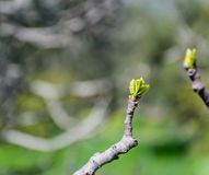 Detail of new leaves sprouting on a branch. royalty free stock photography