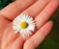 Detail of nice daisy on hand Stock Images