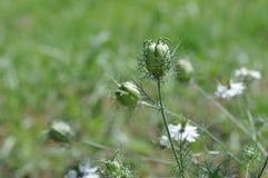 Nigella seed capsule, sativa. Love-in-the-mist. Detail of Nigella seed capsule, sativa. Love-in-the-mist Stock Photography