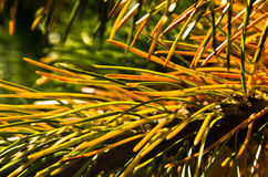 Detail from nordic spruce evergreen tree, north Iceland Royalty Free Stock Photography