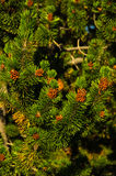 Detail from nordic spruce evergreen tree, north Iceland Stock Photos