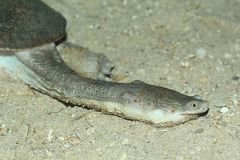 Northern australian snake-necked turtle Stock Images