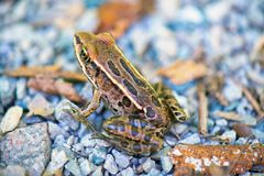 Detail of northern green frog lithobates clamitans in Southwes Stock Image