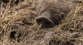 Detail of nose of wild pig lying on wet dirty hay Royalty Free Stock Image
