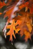 Detail of oak leaves in Autumn Stock Images