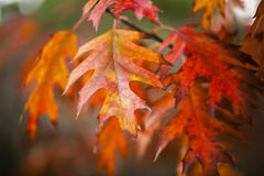 Detail of oak leaves in Autumn Royalty Free Stock Photos