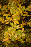 Detail of oak leaves in Autumn Royalty Free Stock Photo