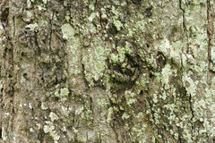 Detail of oak tree bark Stock Image