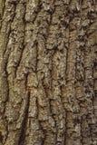 Detail of oak tree bark Royalty Free Stock Photos
