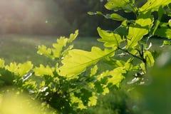 Detail of an oak tree. In the sunlight stock image