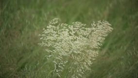 Detail of an oat plant. In a field of cultivation while it is moved by the wind that laps the cultivation itself stock footage
