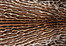 Ocelot skin texture. Detail of ocelot skin background Royalty Free Stock Photo