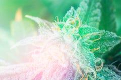 Free Detail Of A Cannabis Plant. Lemon OG Marijuana Strain. Huge Indo Light Toning Stock Image - 118046411