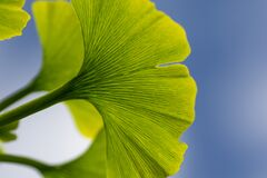 Free Detail Of A Green Leaf Of A Ginkgo Biloba Tree,Maidenhair Tree,Ginkgophyta With The Blue Sky In The  Background. Stock Photography - 187936592