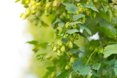 Detail Of Fresh Hops Cones Stock Image