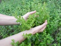 Free Detail Of Garden Herbs, Lemon Balm Or Botanical Name Melissa Medicinal. Harvesting Herbs Royalty Free Stock Images - 151898039