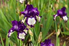 Free Detail Of Two Irises Royalty Free Stock Photography - 40755027
