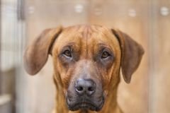 Detail Of Old Rhodesian Ridgeback. Dog. Portrait and his awesome look Royalty Free Stock Photos