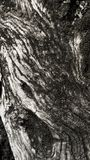 Detail of olive tree bark Royalty Free Stock Images