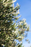 Detail of olive tree branch Royalty Free Stock Photos