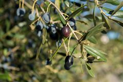 Detail Of An Olive Tree With A Close Up Of A Branch And Some Lea. Ves On Blur Background royalty free stock images