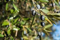 Detail Of An Olive Tree With A Close Up Of A Branch And Some Lea. Ves On Blur Background stock photo