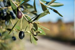 Detail Of An Olive Tree With A Close Up Of A Branch And Some Lea. Ves On Blur Background royalty free stock photography