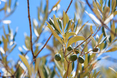 Detail of olive tree Stock Photos