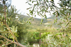 Detail of olive tree with green olives Royalty Free Stock Image