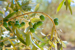 Detail of olive tree with green olives fruit Royalty Free Stock Photography