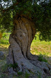 Detail olive tree secular. In the countryside of Apulia. Italy Royalty Free Stock Photos