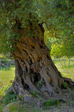 Detail olive tree secular Royalty Free Stock Photos