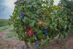 Detail from one vineyard. In Romania with grapes and foliage on hill in autumn Stock Image