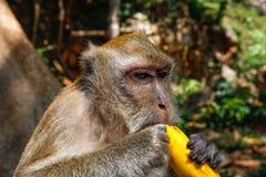 Detail op hoofd van fasciculari met lange staart van Macaca van de macaqueaap stock afbeeldingen